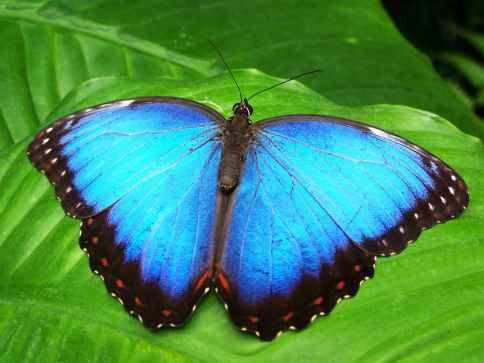butterfly-blue-insect-blue-morphofalter-66268.jpeg